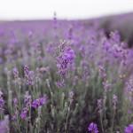 lavender-family-54-w